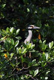 Yellow crowned night heron. Perch, wildlife bird refuge, Cabo Rojo, Puerto Rico Stock Images