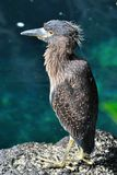 Yellow-Crowned Night-Heron Royalty Free Stock Images
