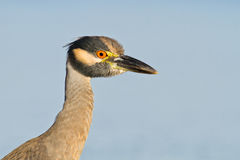 Yellow-crowned night heron. In early morning light on a blue background Royalty Free Stock Photos