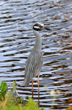 Yellow Crowned Night Heron Stock Image