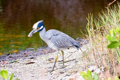 Yellow Crowned Night Heron 2 Lizenzfreie Stockfotos