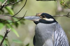 Yellow-crowned night heron. In a tree Royalty Free Stock Images