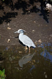 Yellow Crowned Night Heron Stock Photos