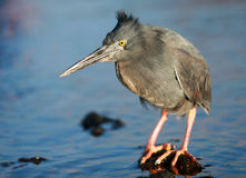 Yellow Crowned Night Heron Royalty Free Stock Photos