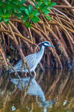 Yellow Crowned Night Heron Royalty Free Stock Images