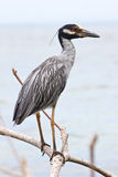 Yellow-crowned night heron bird on a branch Stock Photos