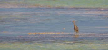 Yellow-crowned Night Heron in blue and green. A Yellow-crowned Night Heron (Nyctanassa violacea) wades in the shallow waters of a blue and green colored cuban Royalty Free Stock Images