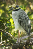 Yellow Crowned Night Heron. On a branch in a mangrove at a wildlife refuge on Sanibel Island Florida stock image