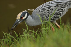 Yellow-crowned Night Heron Catching a Crab Stock Photos