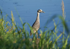 Yellow-crowned night-heron catching evening light on its white feathers Stock Photos