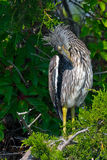 Yellow-crowned Night Heron Chick Stock Photo
