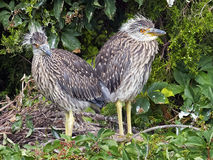 Yellow-crowned Night Heron Chicks Stock Image