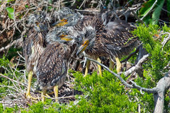 Yellow-crowned Night Heron Chicks Stock Photography