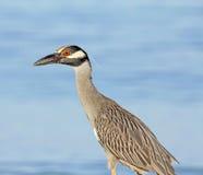 Yellow-crowned Night heron Royalty Free Stock Image