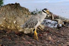 Yellow Crowned Night Heron with crab. A yellow crowned night heron stands alert  with its prey, a blue crab, in Punta Gorda Florida Royalty Free Stock Image