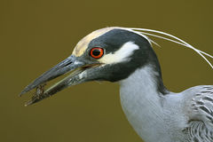 Yellow-crowned Night Heron Eating a Crab Stock Photography