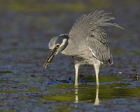 Yellow-crowned Night Heron eating a crab in a shallow lagoon - F Stock Photos