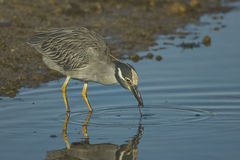Yellow-crowned Night Heron eating seaweed Royalty Free Stock Photos