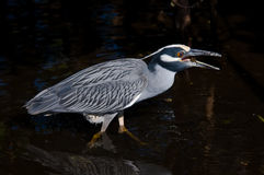 Yellow-Crowned Night Heron eats a crab Royalty Free Stock Photos