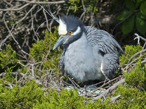Yellow-crowned Night Heron on Eggs Royalty Free Stock Photo