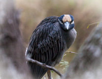 Yellow Crowned Night Heron at Estero LLano State Park Stock Photography