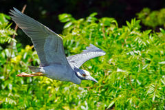 Yellow-crowned Night Heron Stock Photography