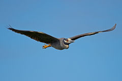 Yellow-crowned Night Heron Stock Photos