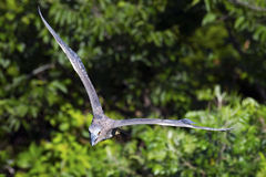 Yellow-crowned Night Heron in Flight Royalty Free Stock Photos