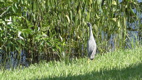Yellow crowned night heron in Florida stock video