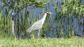 Yellow crowned night heron in Florida stock video footage