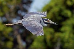 Yellow-crowned Night Heron Flying Stock Photos
