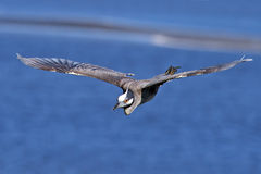 Yellow-crowned Night Heron Flying Royalty Free Stock Photography
