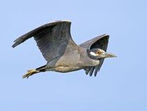 Yellow-crowned Night Heron Flying Stock Photo