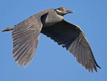 Yellow-crowned Night Heron Flying Royalty Free Stock Images