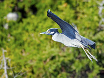 Yellow-crowned Night Heron Flying Royalty Free Stock Photos