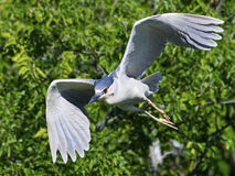 Yellow-crowned Night Heron Flying Stock Image