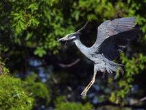 Yellow-crowned Night Heron Flying with Stick Stock Photos