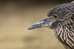 Yellow-crowned night heron, Galapagos Stock Photo