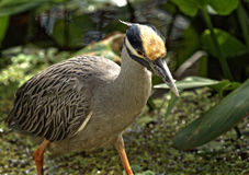 Yellow Crowned Night Heron. Getting ready to run in a swamp, Southwest Florida Royalty Free Stock Images
