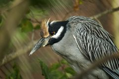 Yellow-crowned Night Heron. A yellow-crowned night her on stares Royalty Free Stock Photo