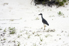 Yellow Crowned Night Heron II Stock Image