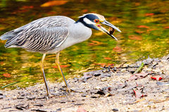 Yellow Crowned Night Heron Stock Photo