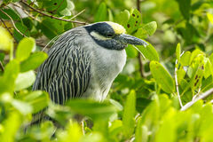 Yellow Crowned Night Heron. This image of a Yellow Crowned Night Heron was captured in the Marie Selby Botanical Gardens in Sarasota, Florida.  The photograph Stock Photos