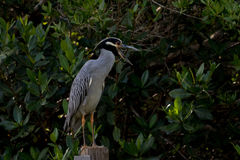 Yellow-Crowned Night-Heron, J.N. Ding Darling National Wildl Royalty Free Stock Images