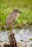 Yellow-Crowned Night-Heron Juvenile Stock Photos