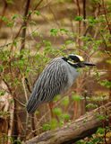 Amazing Yellow-crowned Night-heron Royalty Free Stock Photo