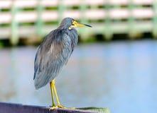 Yellow Crowned Night Heron On Rail stock photography