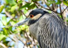 Yellow Crowned Night Heron in the Mangroves Stock Photo