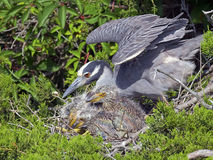Yellow-crowned Night Heron Mother and Chicks Royalty Free Stock Photos