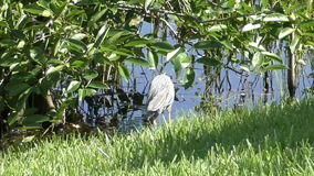 Yellow crowned night heron stock video footage